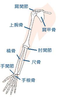 腕の骨イラスト